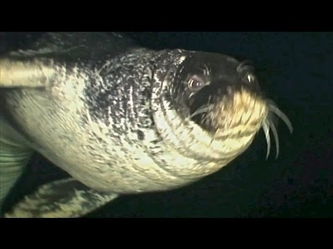 Atlantik-Mönchsrobbe (Atlantic Monk Seal), In der Höhle der Mönchsrobbe