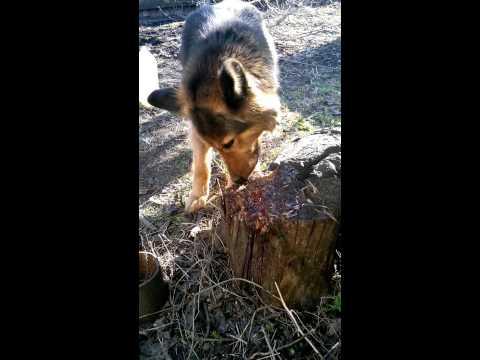 Собака бобер