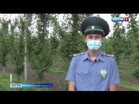 В Астраханской области Управление Россельхознадзора проводят мониторинг насекомых-вредителей с помощью феромонных ловушек