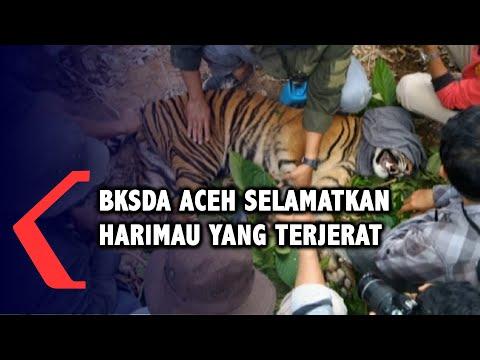 BKSDA Banda Aceh Selamatkan Harimau Sumatera Yang Terjerat