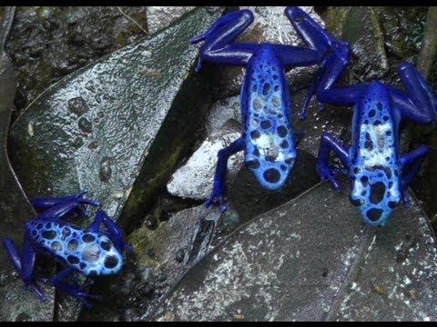 可殺 10 人的藍毒箭蛙