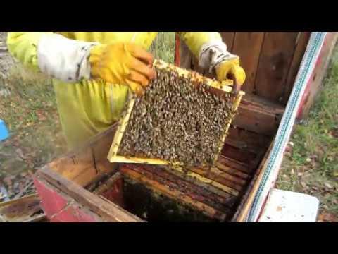 Пчеловодство. Ошибки при сборе гнезда и закормки  пчёл в зиму. Спасаю семьи перед зимовкой.