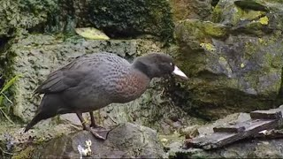 Rare New Zealand Blue Duck Eggs - Making Animal Babies - BBC