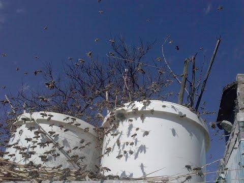 Стимуляция пчелы искуственной пыльцой на пасике