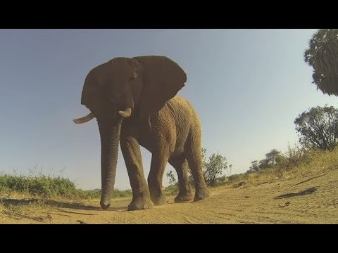 Download Getting Stepped On By An Elephant Mp4 HD Video and MP3