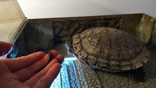 How to gain the trust of your red ear slider turtle
