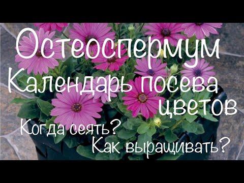 Остеоспермум. Сроки посева цветов на рассаду. Календарь посева цветов.