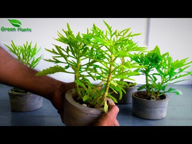 Video pronuncia di kalanchoe in Inglese