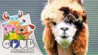 Смешные видео про животных #4   COUB   Приколы с животными