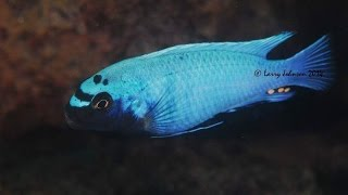 Lions Cove Lake Malawi - African Cichlids - HD Underwater Footage
