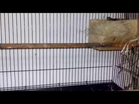 Video CARA BETERNAK BLACKTHROAT (ARDIAN DIAN) CIAWI-BOGOR