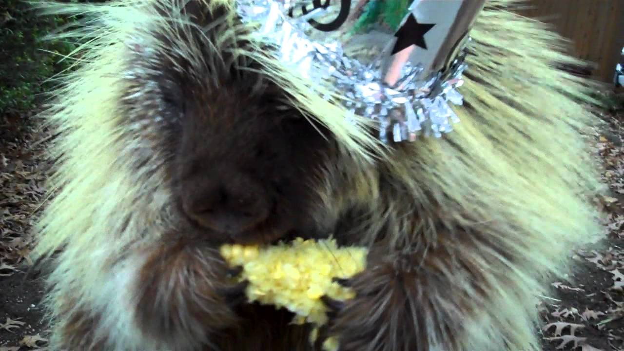 This Partying Porcupine Talks Just Like A Pixar Character