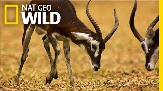 Fight For the Right To Mate | Nat Geo Wild