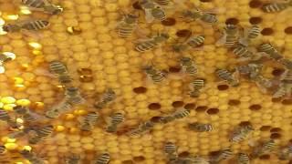 Пчелы - Начало пасеки (для неопытных)