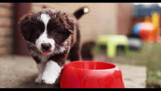 Australian Shepherd Puppies / 7 Weeks