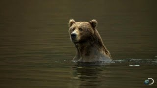 Filming Kodiak Bears Underwater | North America