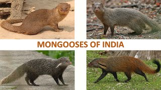 Mongooses of India 🇮🇳