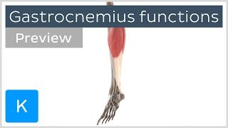 Functions of the gastrocnemius muscle (preview) - 3D Human Anatomy |Kenhub