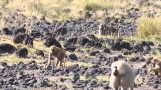 Hamadryas Baboons In Awash National Park- Ethiopia