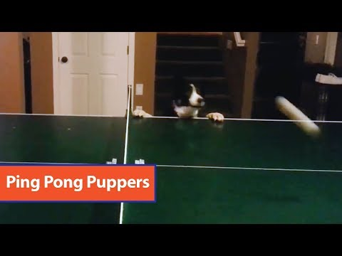 Dog Attempts To CatchPing Pong Ball