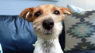 Funny Jack Russell Terrier Compilation
