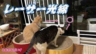 レーザー光を凝視する♀猫こむぎ&♂猫だいず   Kholo.pk