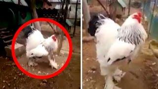 The Brahma Chicken