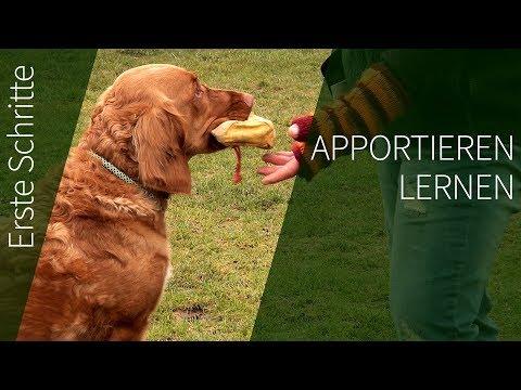Apportieren erste Schritte ► Wie du deinem Hund Apportieren lernen kannst