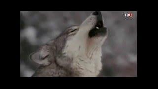 Волки и люди. Жизнь волков.