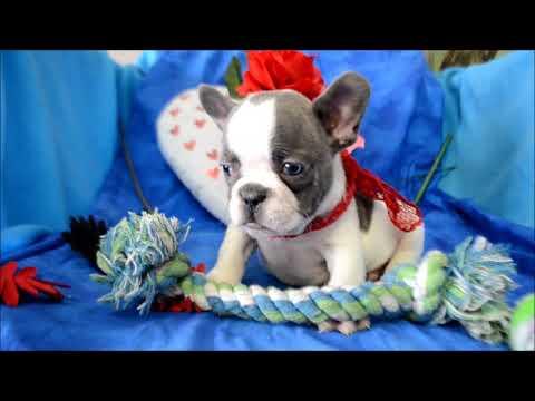 Stewie AKC Blue White Piebald Male French Bulldog Puppy for sale.