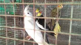 preview picture of video 'cockatiel parrots price in INDIA'