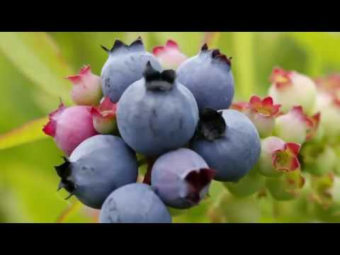 "The Maine wild blueberry industry is locked in a downward skid in an era when ""superfoods"" dominate the conversation about how to eat. (Sept. 4)"