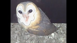 Barn Owl Screaming