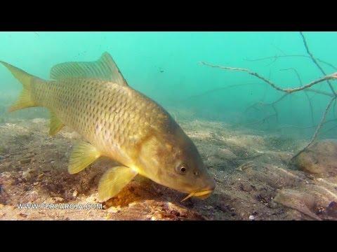 Pesca de carpa con lombríz de tierra y los barbos ni caso