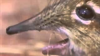 Edward Shrewden,Sing for Me, Elephant-Shrew, Phantom of the Opera, Take a closer look at that snout