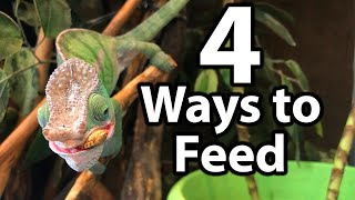 How to feed a chameleon | Cup feeding, free-ranging, tong feeding & hand feeding