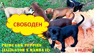 PRIDE G&K PUPPIES (RED ALLIGATOR X MAMBA II) 6 НЕДЕЛЬ...