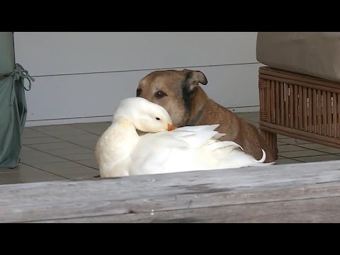 Dog And Duck For An An Unlikely Friendship
