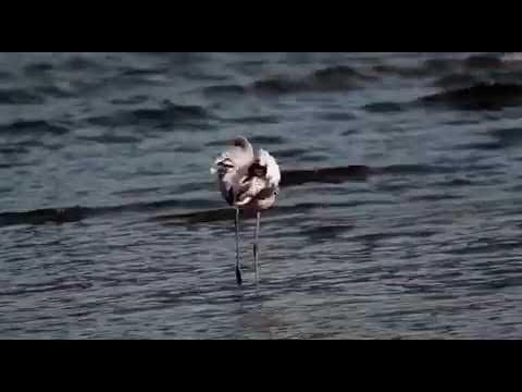 Un fenicottero alla foce del Tresa