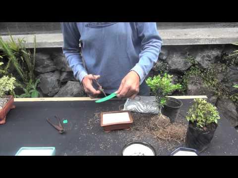 Técnicas bonsái para principiantes