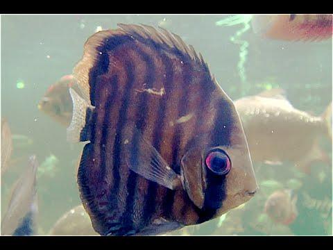 グリーンディスカス  Symphysodon aequifasciata aequifasciata