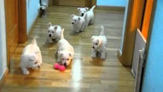 Westy Cachorros Sombra 16-Julio-2010 parte 06