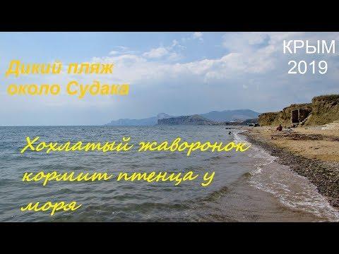 Крым, СУДАК, море, пляж. Хохлатый жаворонок Galerida cristata кормит летного птенца