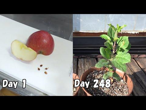 , title : 'スーパーのリンゴを種から育てる