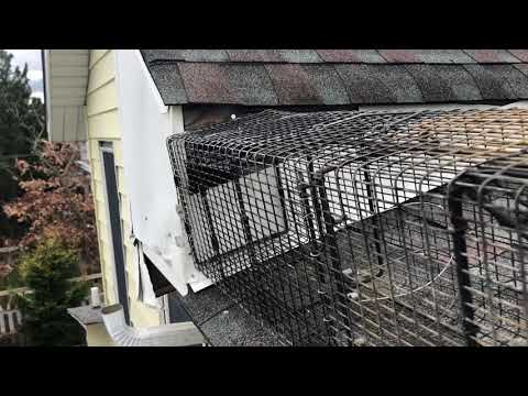 How to Safely Remove a Raccoon in Your Attic in Ocean Grove, NJ