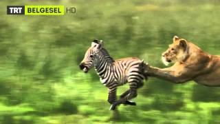7   24 vahşi yaşam  fragman  trt belgesel