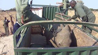 Sjældne optagelser viser, hvordan vilde elefanter indfanges til zoologiske haver