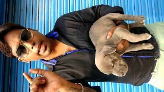american bully xl for sale in india - मुफ्त