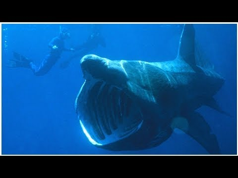 Groups of up to 1,400 basking sharks gathering off N.S., northeastern U.S. | CBC News