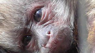 Rare Newborn Yellow Breasted Capuchin Monkey